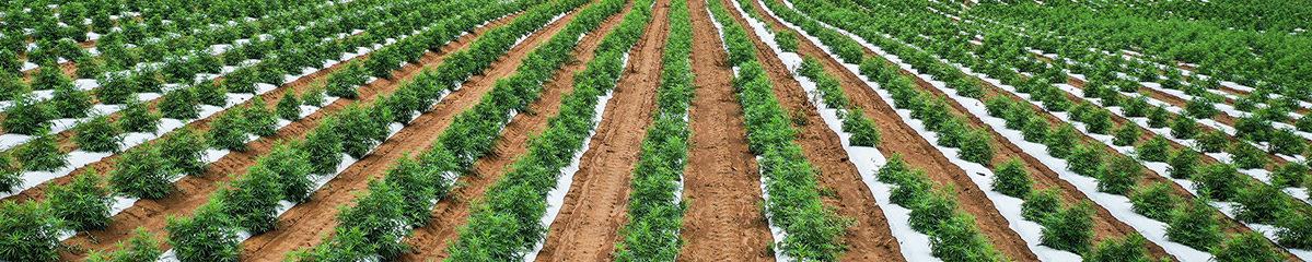 field full of autoflower hemp