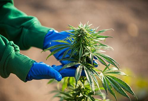 hands examining autoflower hemp