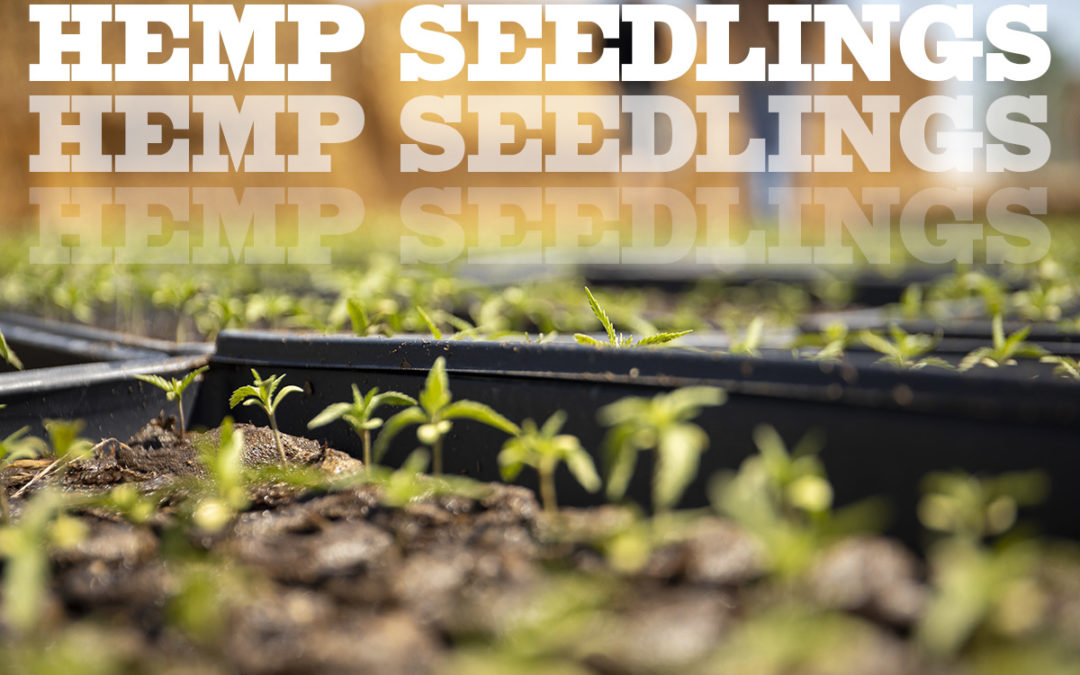 4 Tips for Growing Hemp Seed Starts
